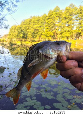 Freshly caught perch in the hands of the angler.