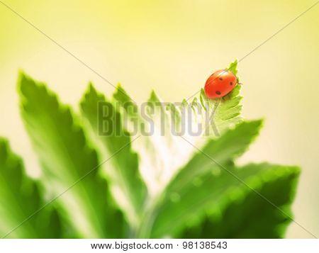 ladybug on green leaf. Filtered image: warm cross processed vintage effect.