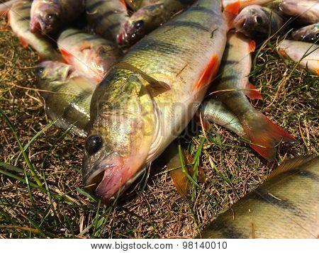 Catch fisherman perches.