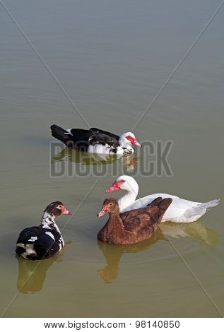 The group of muscovy ducks  in a lake