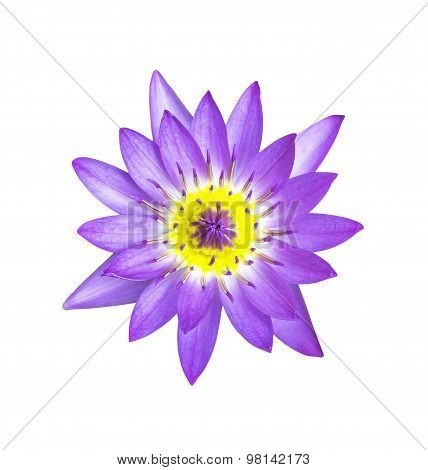 Magenta Lotus Flower Isolated