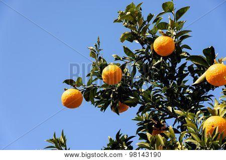 Citrus Natsudaidai