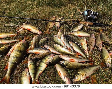 Spinning fishing. Caught perch. Freshly caught fish.