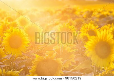 Sunflowers Close Up Lit With The Bright Summer Sun