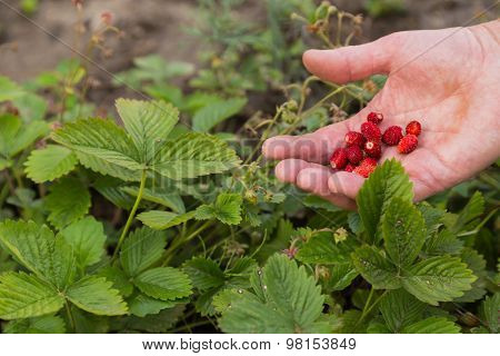 A man collects a strawberry. Gardening,