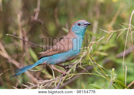 Blue Waxbill (uraeginthus Angolensis) Perched In A Garden