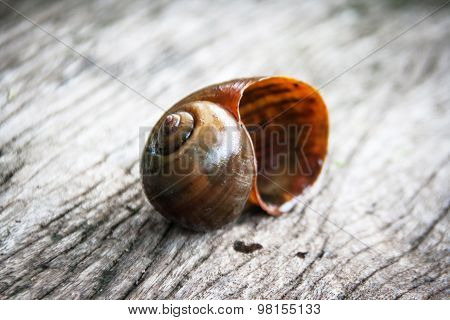 Emty Apple Snail Shell On Wood Floor
