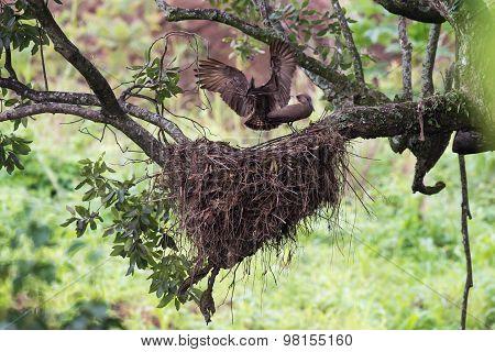 Hamerkop (scopus Umbretta) Landing Beside Its Mate With Sticks For Nest Building