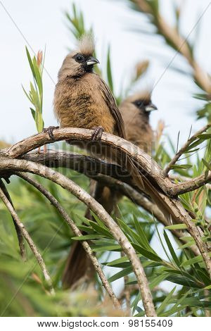 Speckled Mousebird (colius Striatus) Pair Perched On A Curved Branch