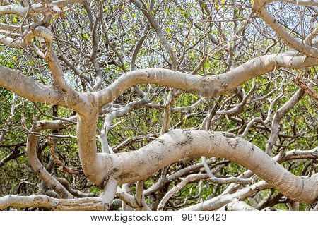 Branches Of Poisonous Manchineel Tree
