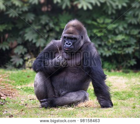 Gorilla Looking Straight In Camera