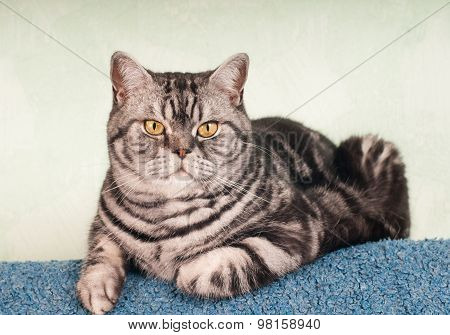 Full body portrait of american shorthair cat