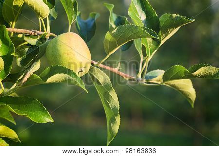 Growing Apples - Farming