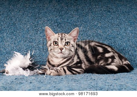 American shorthair kitten portrait