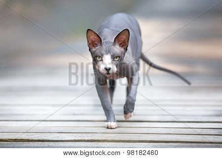 grey canadian sphynx cat outdoors