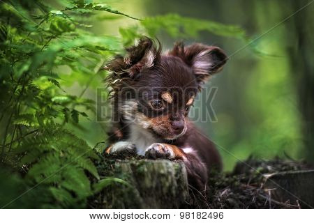 chocolate chihuahua puppy in the forest