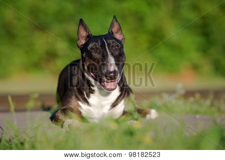 miniature english bull terrier dog outdoors