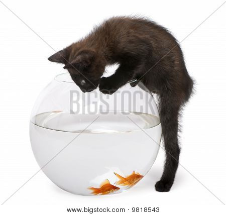 Black Kitten Looking At Goldfish, Carassius Auratus, Swimming In Fish Bowl In Front Of White Backgro