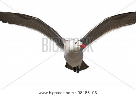 Flying Bird Isolated