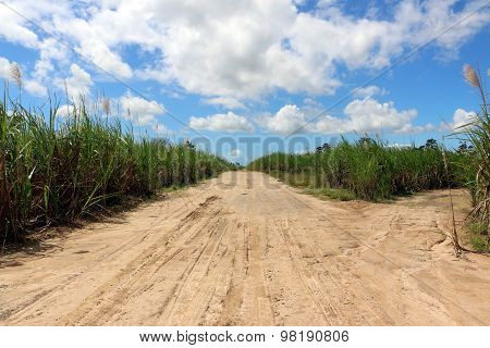 Road intersection in  sugarcane field