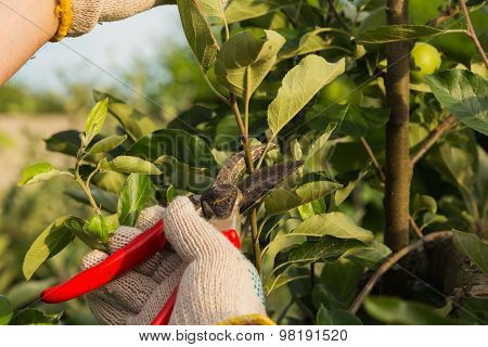 Gardener cuts dry branches of trees, special tools, shears.