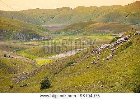Herd of sheep at Piano Grande, Umbria, Italy