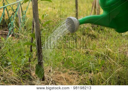 A gardener waters the plants from a watering can.
