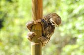 Baby three toed sloth