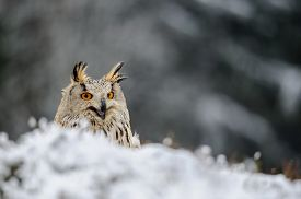 image of snow owl  - Eurasian Eagle Owl sitting on the ground with snow in winter time and shout - JPG