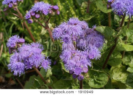 Ageratum In Bloom