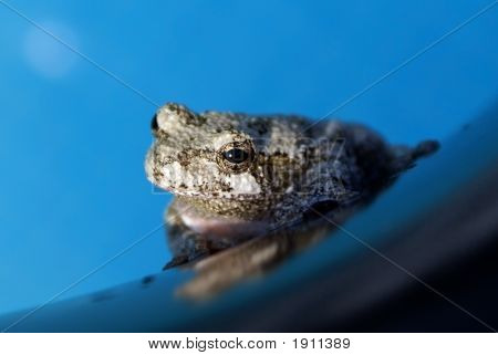 Gray Treefrog On An Inner Tube