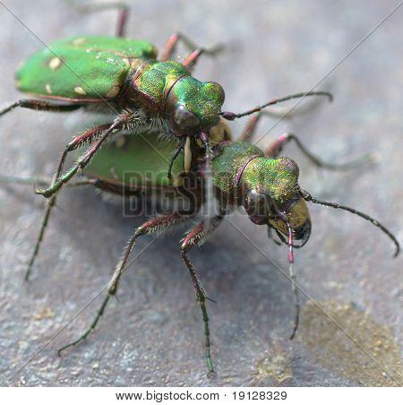 Escarabajos tigre