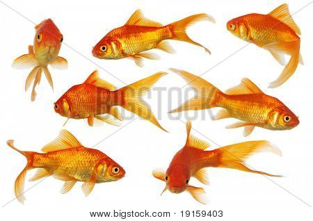 Assorted Goldfisch Schwimmen isolated on a white background
