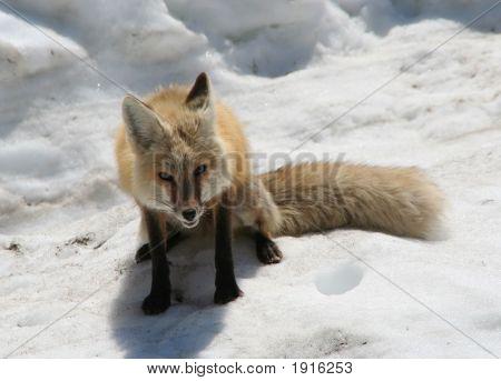 Rainier Fox Asking A Question Dinner???