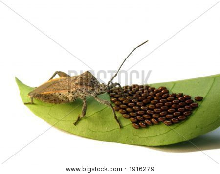 Shield Bug Guarding Eggs