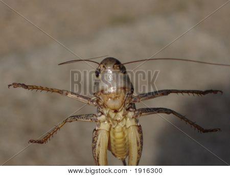 Grasshopper Azov Sea Coast Near Kerch Crimea