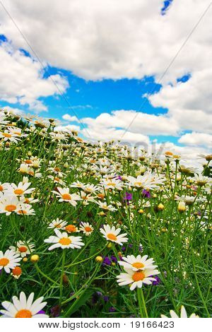 Summer field with camomiles. It is photographed in Russia. 60 kilometers from Moscow. The end of summer.