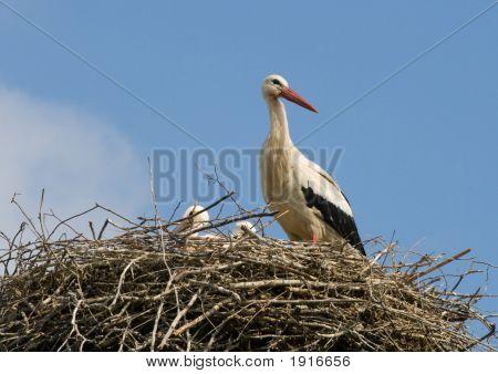 Stork Family In Nest