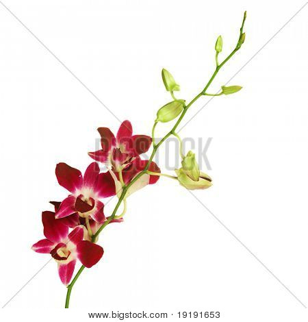 red orchid on white.