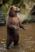 Kamchatka brown bear (Ursus arctos beringianus), also known as the Far Eastern brown bear standing o poster
