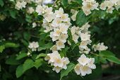 Jasmine White Flowers And Green Leaves On Bush In Full Blossom At Summer Park, Floral Background. Be poster