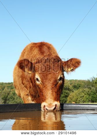 Limousin Cow Drinking Water