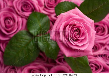 Romantic Rose.