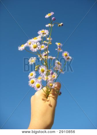 Daisies  In The Blue Sky