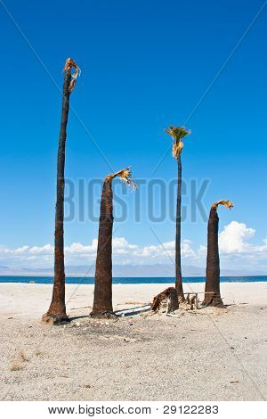 Dead and burnt palm trees on the shore of a desert lake