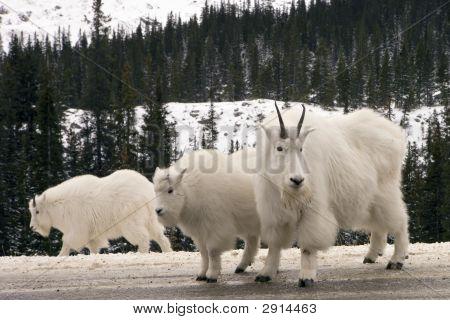 122 Mountain Goats