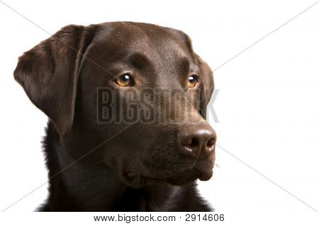 Proud Labrador Retriever