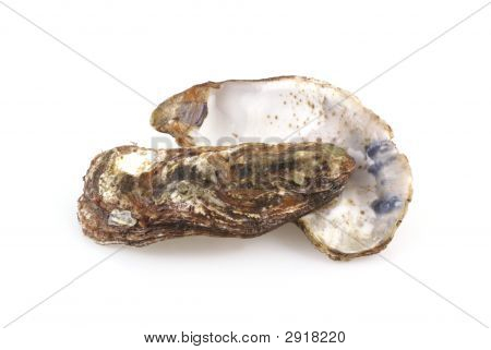 Oyster Shells.