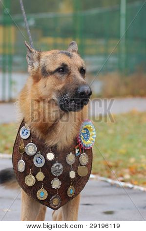 KIEV,UKRAINE-OCTOBER 15:An unidentified German Shepherd dog at the Kiev Regional exhibition of dogs , on October 15, 2011 in Kiev,Ukraine