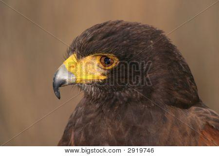 Harris Hawk, Parabuteo Unicintus